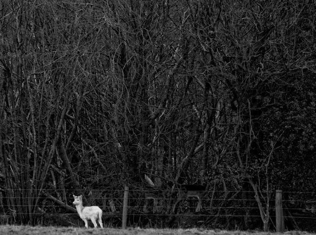 white wild deer