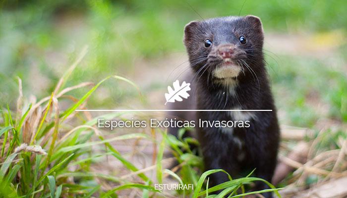 que son las especies exoticas invasoras vison americano