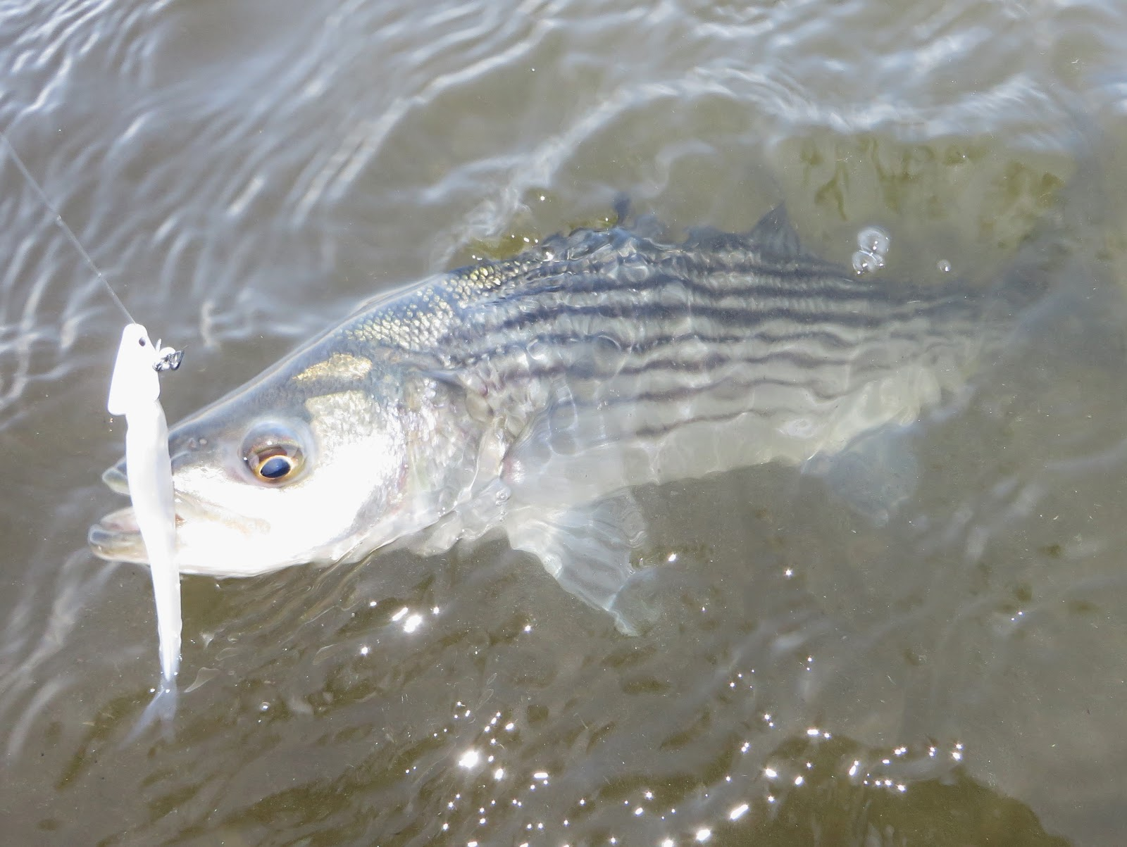 Rhode island striped bass first striper of the year for me geenschuldenfo Image collections