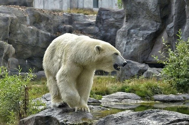 Information & 75 Facts About Polar Bear in Hindi