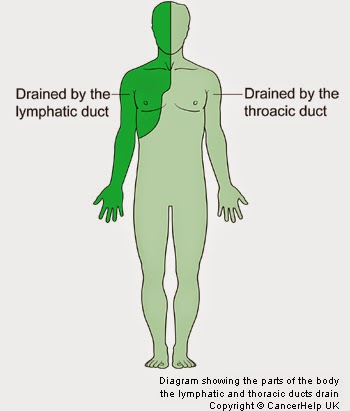 The Untold Story Of The Lymphatic System Beyond The Bite