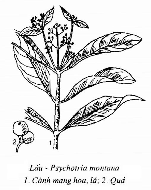 Hình vẽ Cây Lấu - Psychotria montana - Nguyên liệu làm thuốc Chữa Tê Thấp và Đau Nhức