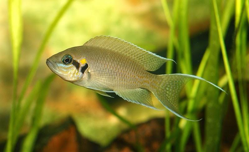 Brichardi balığı hakkında bilgi