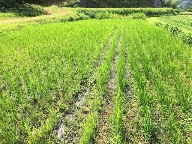 不耕起栽培の田んぼ