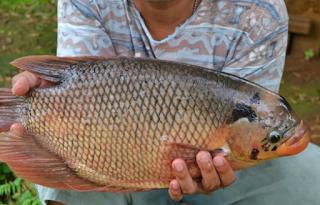 Umpan Ikan Gurami Cocok Di Kolam Harian Hasil Pancing