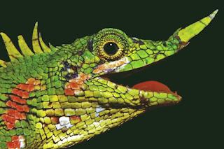 Harpesaurus modiglianii Kadal bertanduk