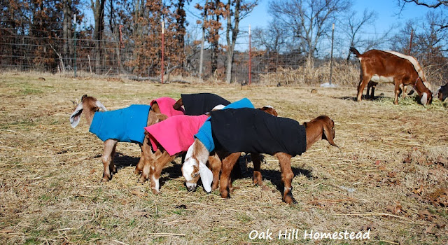 Goat kids in coats