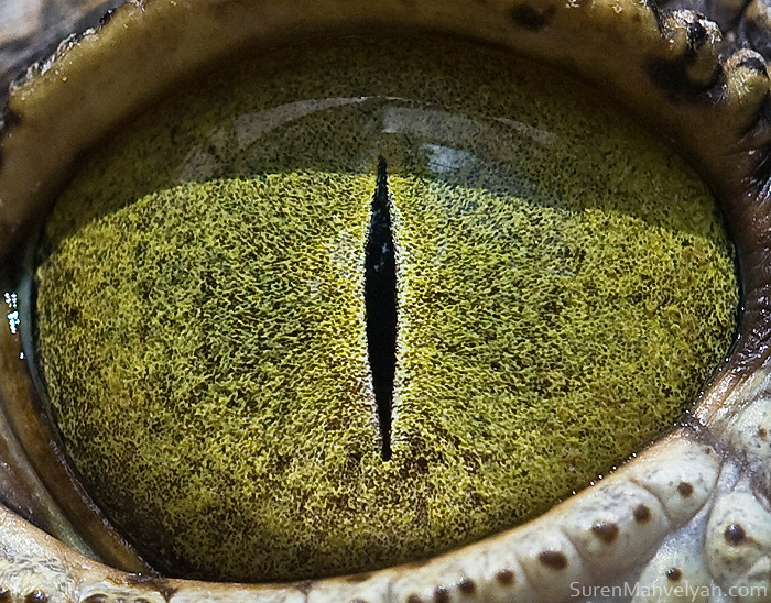 Nylus Crocodile Eyes Close Up Photograph