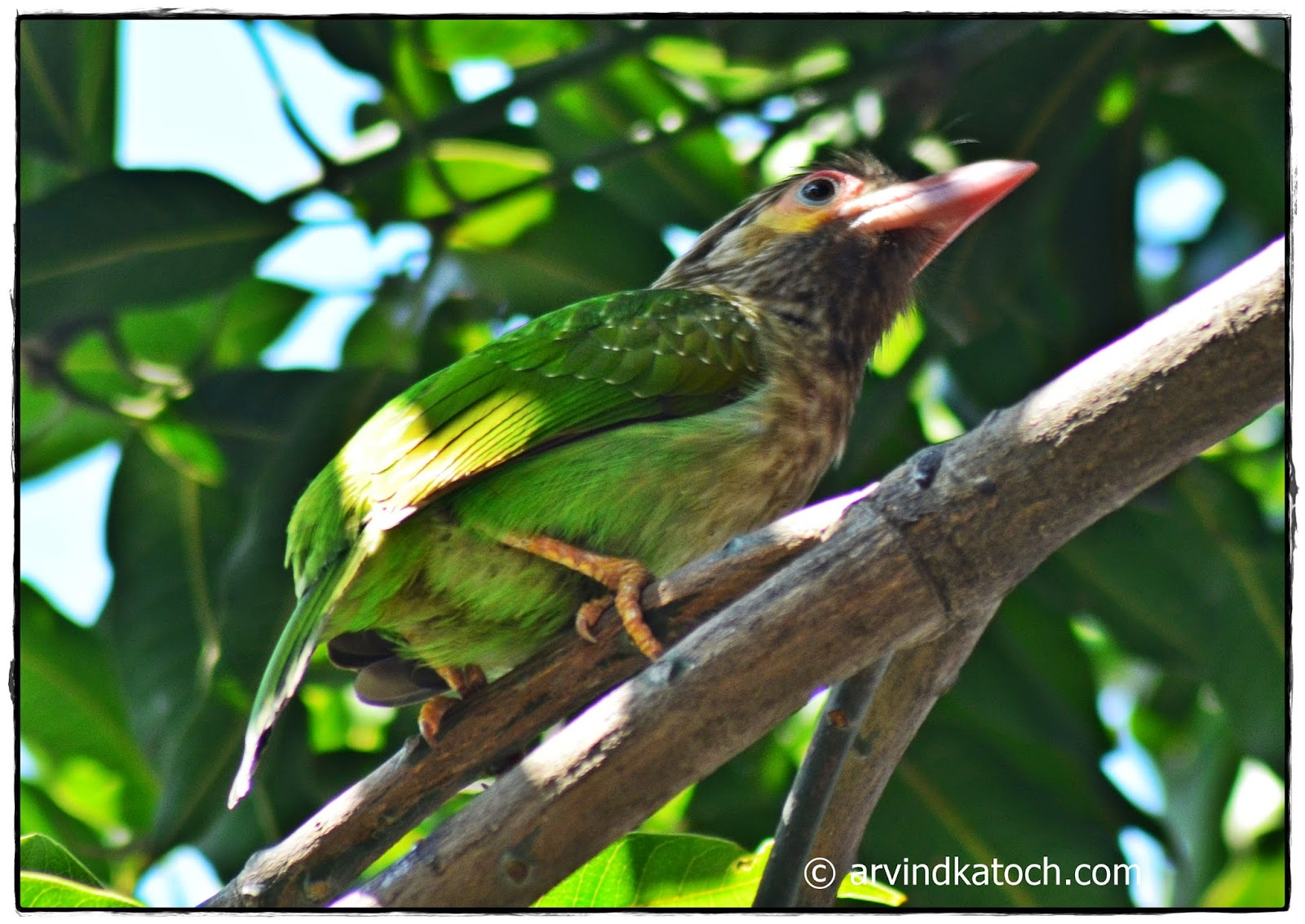 Barnet, Brown-headed barbet,