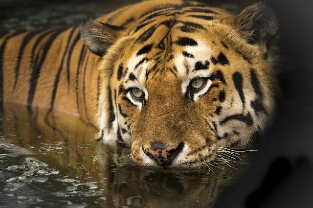 Bengale au zoo de Guadalajara.
