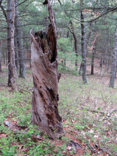 helical growth in dead tree