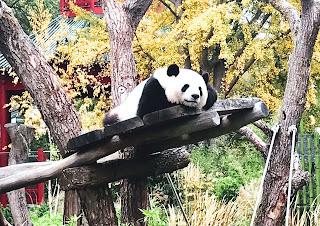 Panda nello Zoo di Berlino