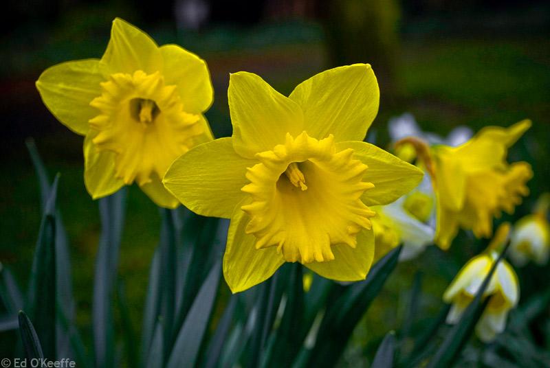 Romantic Flowers: Daffodil flowers