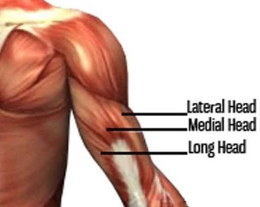 triceps muscles anatomy