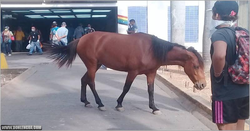 Un caballo paseó por la estación del Metro de Propatria y nadie se lo comió