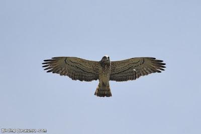 Àguila marcenca amb una serp al bec