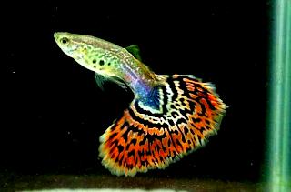 Harga Ikan Guppy Cobra