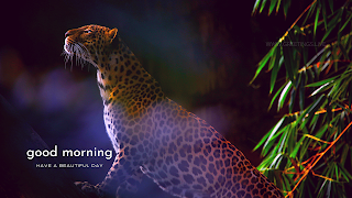 good morning leopard wild animal greetings