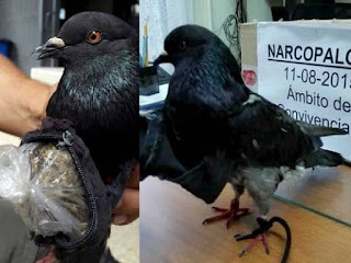 Pigeons transports cocaine into jails