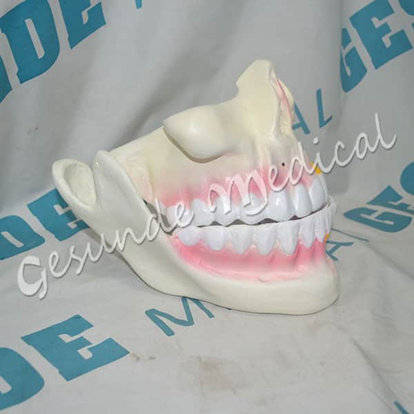 grosir torso organ rahang gigi