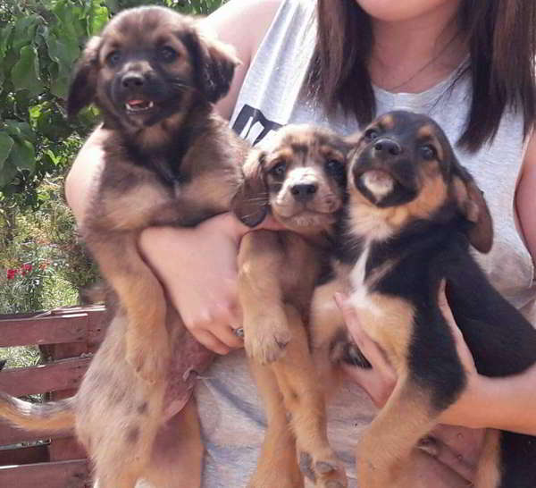 cachorros cruce bretón