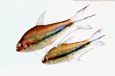Tetra Arco Iris