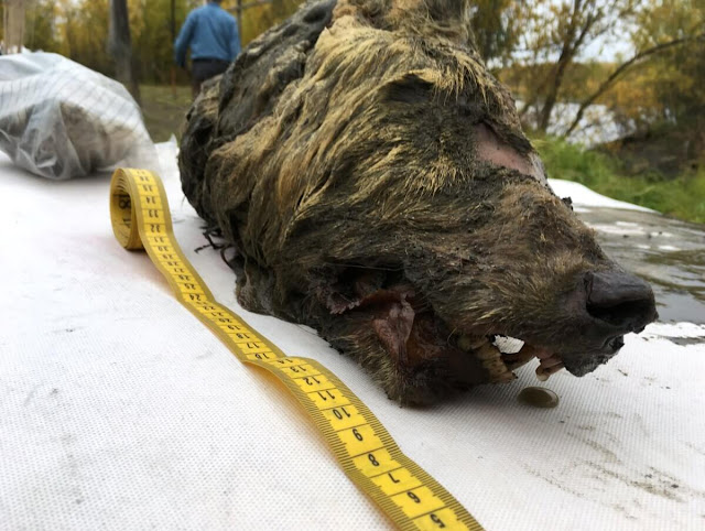 Απίστευτο. Βρέθηκε κεφάλι τεράστιου προϊστορικού λύκου ηλικίας 40.000 ετών στη Σιβηρία (video)