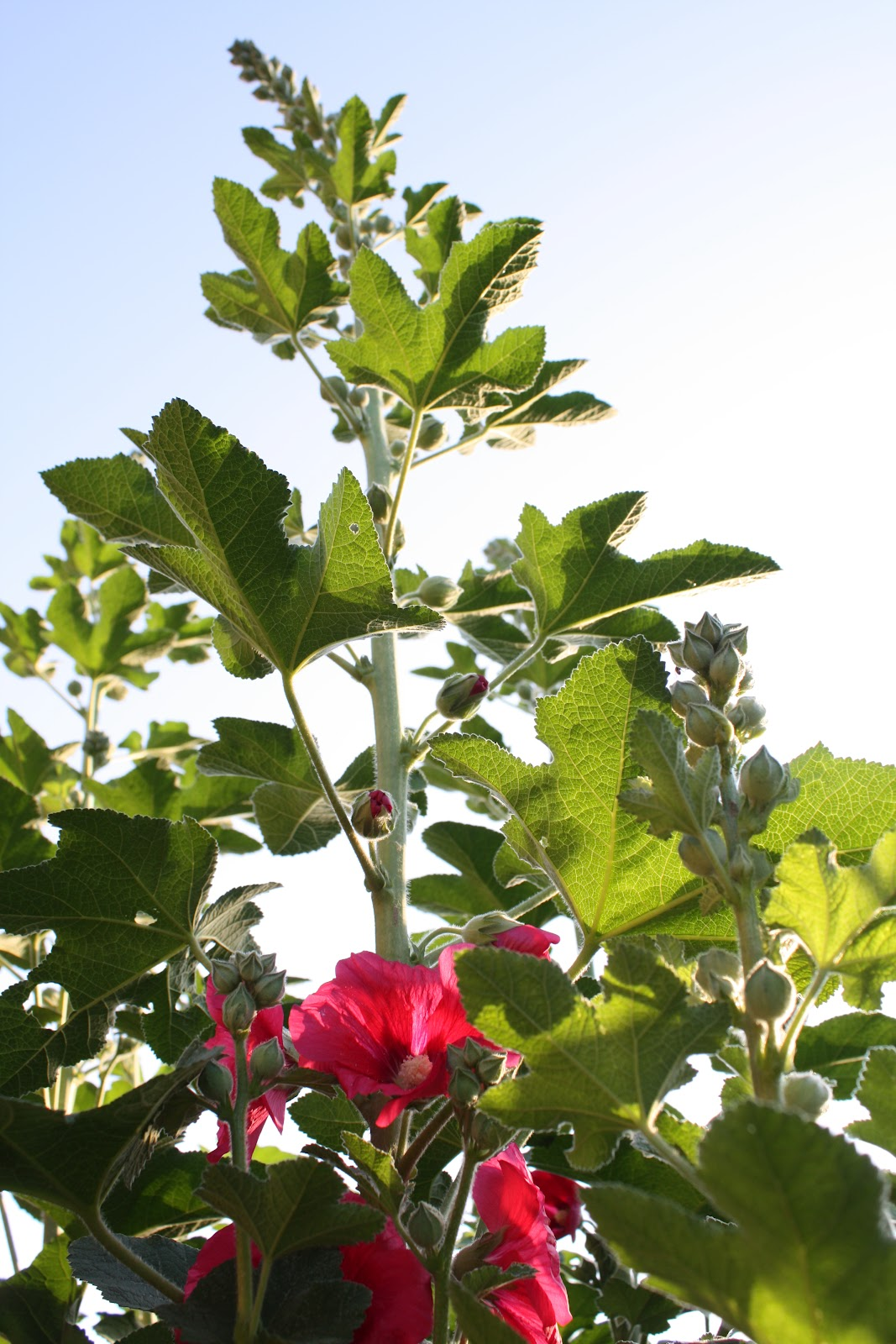 Temperate Climate Permaculture Permaculture Plants Hollyhock