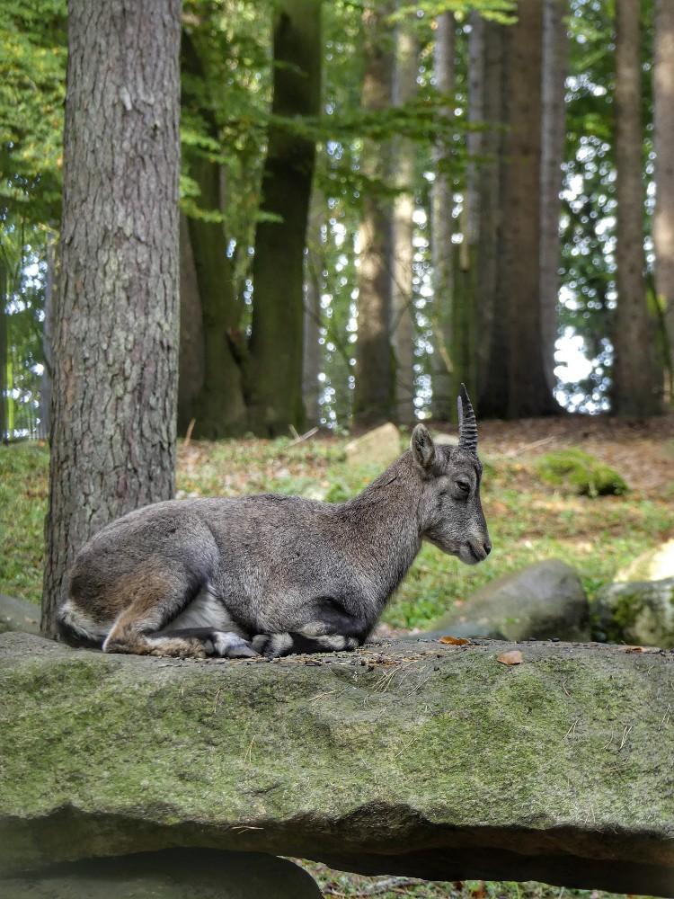 Steinböcke, wildpark