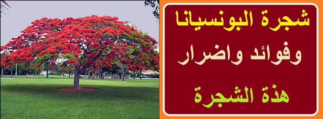 """""""سعر شجرة البونسيانا في مصر"""" """"سعر شجرة البونسيانا"""" """"أضرار شجرة البونسيانا"""" """"متى تزهر البونسيانا"""" """"شجرة البونسيانا في مصر"""" """"زراعة شجرة البونسيانا"""" """"مراحل نمو شجرة البونسيانا"""" """"تسميد شجرة البونسيانا"""""""