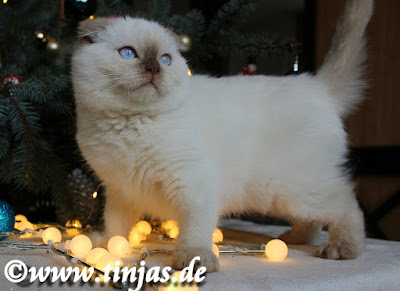 Colourpoint cinnamon point scottish Fold Katzenbaby aus der Tinjas Cattery