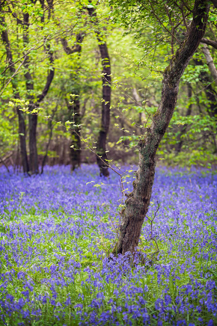 Brampton Wood bluebells lie beneath a bright green canopy of new leaves