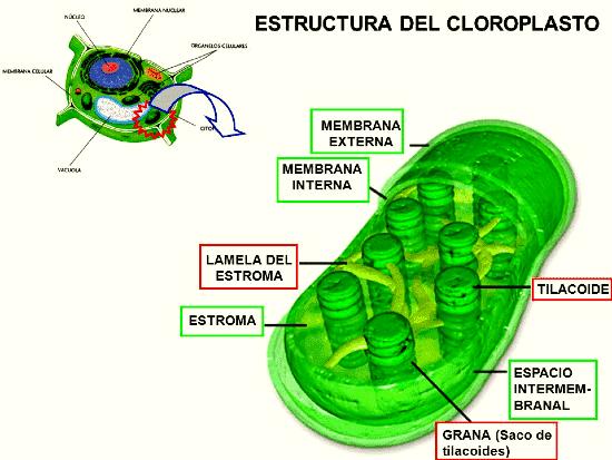cloroplastos en la fotosintesis