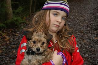 yorkshire terrier valpar säljes