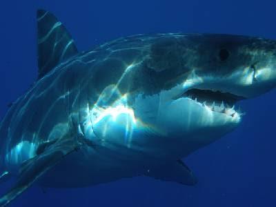 Water Animals Name Shark