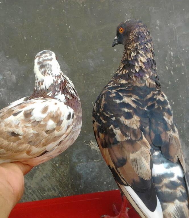 KOBENG BIRD FARM: MENGURANGI MUNCULNYA GEN RESESIF