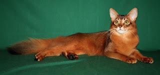 gambar kucing Somali