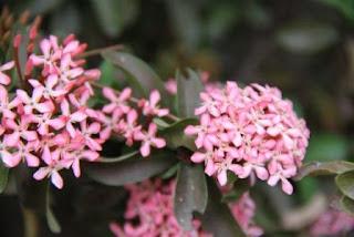 Gambar Bunga Asoka Berbagai Warna 6