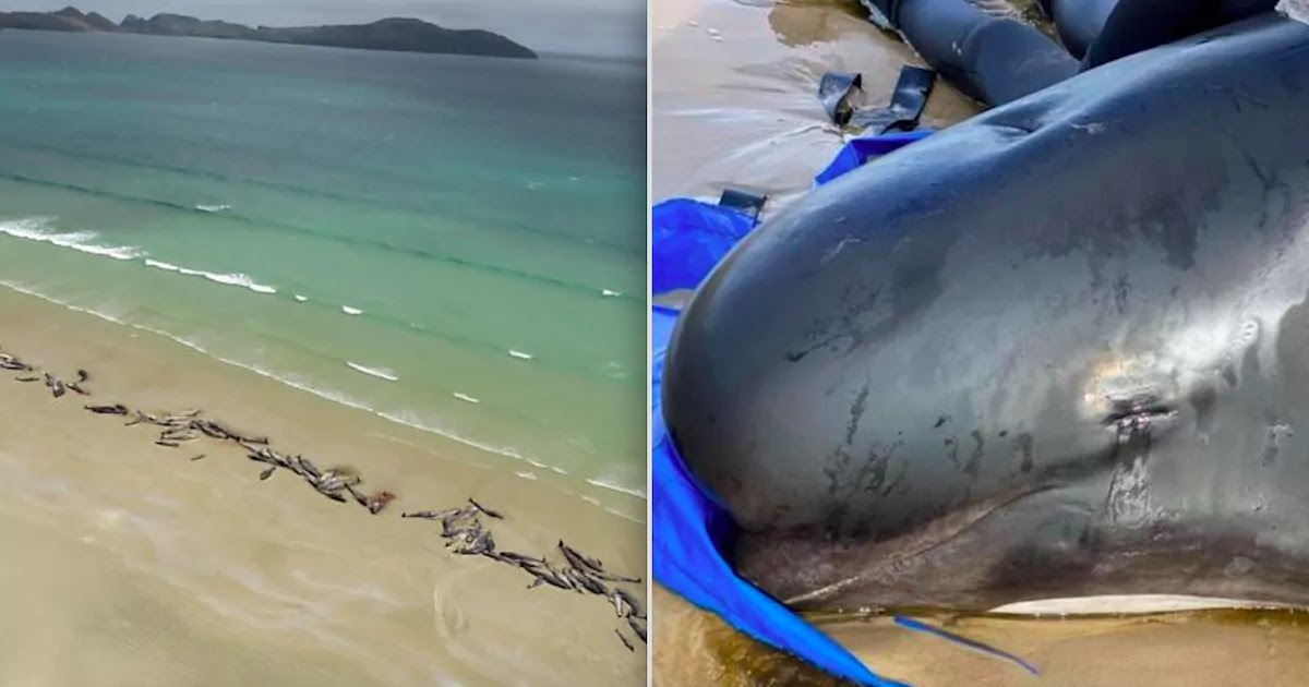 Pilot Whales Beached In Tasmania With Almost 400 Dead In Australia's Worst Mass Stranding
