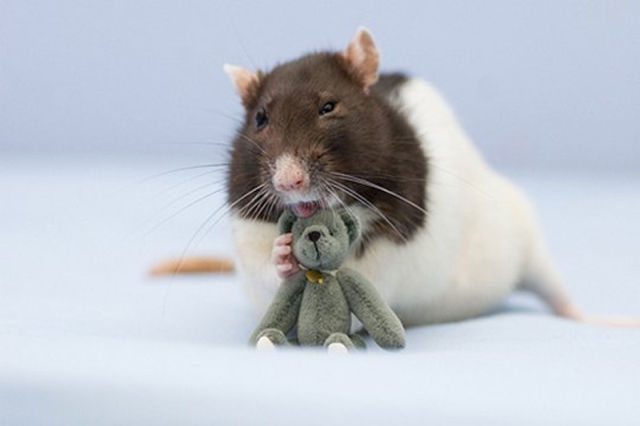 Funny Cool Pictures Cutest Rat You Have Ever Seen