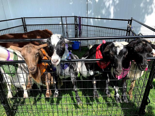 close up of goats