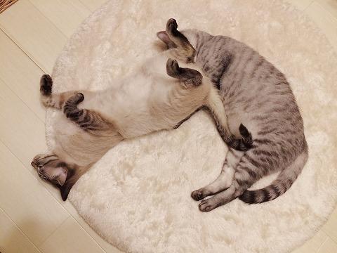 兄貴に尻を押し付けて寝るシャムトラ猫