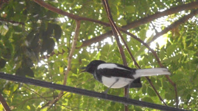 Copsychus saularis bird