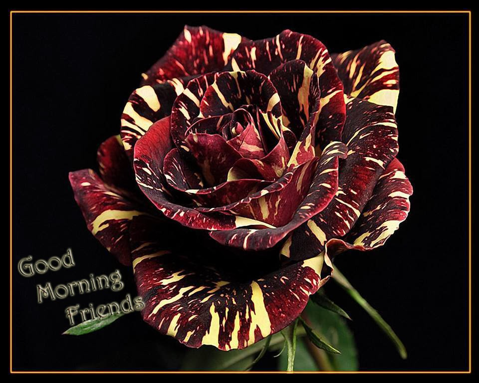 mix color rose with good morning