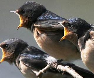 Download Suara Burung Walet Panggil dan Inap Mp.3