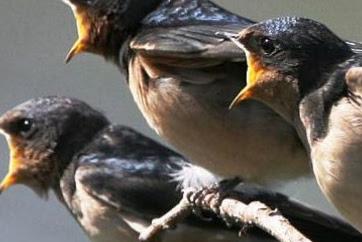 Suara Walet Super - Download Suara Burung Walet Panggil dan Inap Mp.3 Gratis 2018