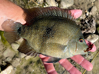 Rio Grande Cichlid, Rios on the Fly, Fly Fishing for Sunfish, Fly Fishing the South Llano, South Llano River, Texas Fly Fishing, Fly Fishing Texas, Pat Kellner, Dac Collins, Spring-Fed Adventures