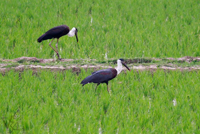 Woolly-necked stork, categorized as vulnerable species under IUCN Red List