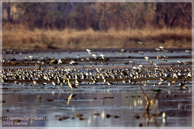 Migratory birds from lands as far as Iceland flock the South Asian land in the winters. Seen at the Vashi Salt Pans in the month of February 2016. Wilderness, Migratory birds, Plovers, Birding Grounds
