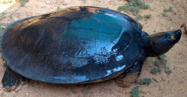 Cambodian Royal Turtle nearly extinct — less than 10 in wild